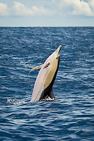 short-beaked common dolphin, Delphinus delphis, tail-walking, Azores, Portugal, Atlantic Ocean