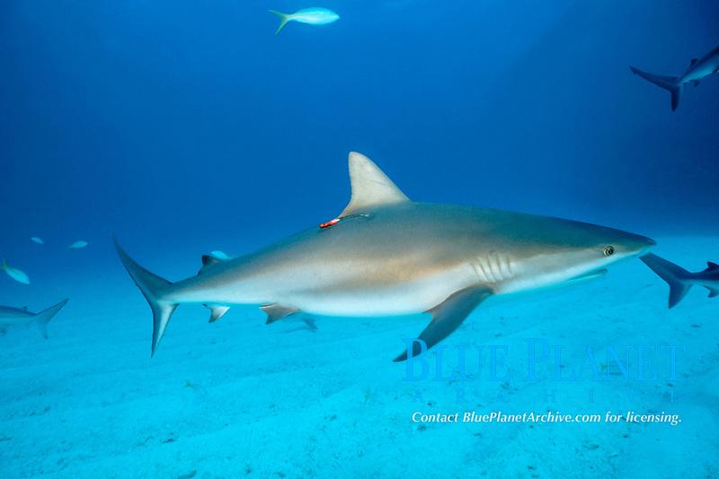 Caribbean reef shark, Carcharhinus perezii, with research tag, Walker's Cay, Bahamas, Caribbean Sea, Atlantic Ocean