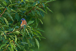 Male eastern bluebird perched in a chokecherry searching for insects.