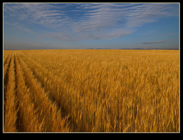 Simple, but effective. Wheat fields in eastern Colorado. John offers autumn photo tours in Boulder and throughout Colorado.