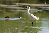 A Snowy Egret, Egretta thula, stands in shallow water in the Riparian Preserve at Water Ranch, Gilbert, Arizona