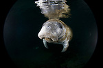 West Indian Manatee, Trichechus manatus, Three Sisters Springs, Crystal River, Florida; USA; Amazing Underwater Photography; Marine behavior