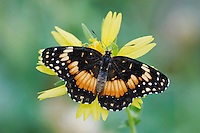 Bordered Patch, Chlosyne lacinia, adult on Clasping-leaved Coneflower(Dracopis amplexicaulis), Willacy County, Rio Grande Valley, Texas, USA, June 2006