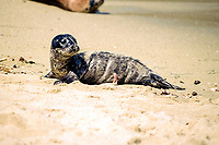 Newborn Harbor seal pup on beach, Phoca vitulina, California, showing fresh umbilical.