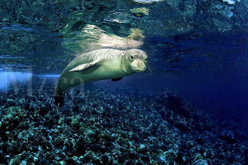 This Hawaiian monk seal [Monachus schauinslandi] (endemic and endangered) was photographed at Molokini Island off Maui, Hawaii.<br />