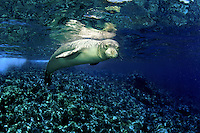 This Hawaiian monk seal [Monachus schauinslandi] (endemic and endangered) was photographed at Molokini Island off Maui, Hawaii.<br />