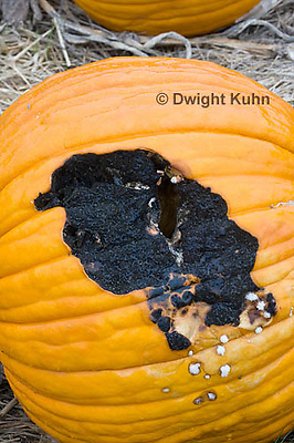 DC09-620z Black Rot growing on pumpkin caused by the fungus Didymella bryoniae