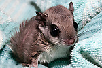 10-12 week old southern flying squirrel wrapped in blanket at the New England Wildlife Center in Barnstabe, Massachusetts.