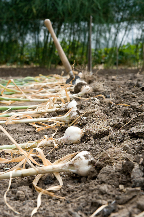 Garlic 'Solent' laid out on the ground to dry in the sun for a few days before bringing it indoors to store. Mid July.