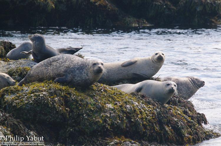 Harbor seals (Phoca vitulina) hang out on a ledge near Monhegan Island.