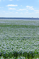 France, Cher, Berry, Brecy, flax or linseed field (Linum usitatissimum) in June // France, Cher (18), Berry, Brécy, champ de lin (Linum usitatissimum) au mois de juin