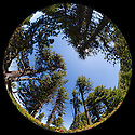 Circular fisheye view of a pine forest. Nordtirol, Austrian Alps. July.