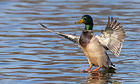 Though it's common, the male Mallard is quite a handsome bird.