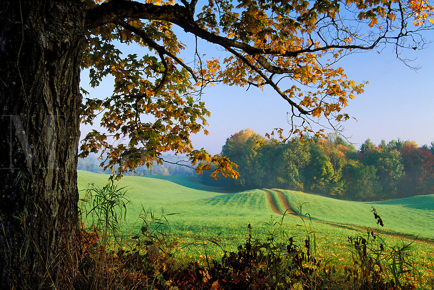 Green pasture with dirt track framed by maple tree on a fall morning, Lyndon, Caledonia County, V