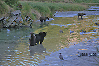 a photo of a group of grizzlies salmon fishing in alaska's Katmai National Park. Grizzly Bear or brown bear alaska Alaska Brown bears also known as Costal Grizzlies or grizzly bears Grizzly Bear Photos, Alaska Brown Bear with cubs. Purchase grizzly bear fine art limited edition prints here Grizzly Bear Photo Bear Photos,