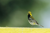Black-throated Green Warbler, Dendroica virens,male on wall, Convention Center, South Padre Island, Texas, USA, May 2005