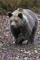 Grizzly Bear walking through leaf litter and scrub brush - CA