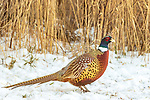 Male ring-necked pheasant standing in the northern Wisconsin snow.