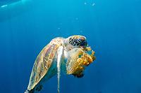 green sea turtle, Chelonia mydas, feeding on jellyfish, Similan Islands, Andaman Sea, off the coast of Phang Nga Province, southern Thailand, Indian Ocean