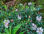 Azalea, Japanese Maple, Fern Canyon Garden, Mill Valley, California