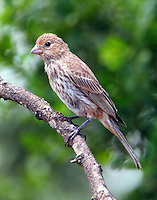 Adult female house finch