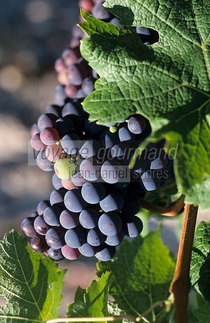 Europe/France/Aquitaine/33/Gironde/ Cépage viticole du vignoble bordelais : Grappe de raisin rouge cépage Cabernet