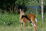 White-tailed doe(s)