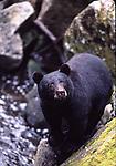 Black bears, NWF edit