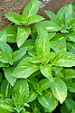 Mentha x gracilis, mid May. Common names include Bushy mint, Ginger mint, Redmint, Scotch mint, Basil mint, Cardiac mint, Scotch spearmint