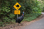 The Southern Cassowary crossing a cassowary interpretive signage. The Southern Cassowary, also known as the Double-wattled Cassowary (family Casuariidae), is native to the tropical forests of New Guinea, nearby islands and north eastern Australia. The name cassowary comes from the Malay name kesuari. The cassowary is the largest avian frugivore in the world. Cassowaries are striking in appearance, with a tall brown casque (helmet) on top of their head, a vibrant blue and purple neck, red wattles and glossy black plumage. The purpose of the casque is unknown and hypotheses include that it indicates dominance, protects the bird's head when running through the forests, or aids cassowaries in hearing the low vibrating sounds made by other cassowaries. They possess small vestigial 'wings' with 5-6 bare quills and a long claw at the tip of the wing.<br /> Southern cassowaries can grow to a height of 2 metres, with males weighing up to 55kg and females up to 76kg. Each leg has three claws, with the medial claw reaching up to 120mm in length! Cassowary chicks differ in appearance, with a striped brown and cream pattern. After 3-6 months, the stripes fade to the brown sub-adult plumage.  This is retained until 12-18 months of age after which the bird begins to take on adult characteristics. Maturity is reached at 3.5 years of age for females and 2.5 years for males.