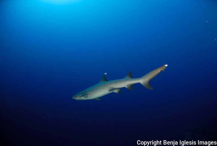 Whitetip reef shark swimming away into the blue at the backwall Molokini Maui Hawaii.