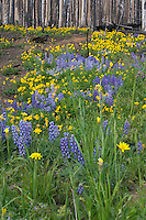 Arnica (Arnica montana) and Lupine (lupinus argenteus) flood a meadow two years after a forest fire has passed through. Arnica has been used medicinally for centuries, however there are no scientific studies that prove the medical effectiveness. The roots contain derivatives of thymol, which are used as fungicides and preservatives. Arnica is currently used in liniment and ointment preparations used for strains, sprains, and bruises. Commercial arnica preparations are frequently used by professional athletes.