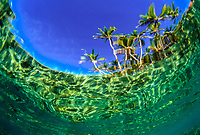 Palm trees viewed from underwater, Majuro Atoll, Marshall Islands, Pacific Ocean