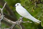 White Tern (Gygis alba), Midway Atoll, Hawaiian Leeward Islands, Hawaii