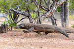Large male Komodo dragon or Komodo monitor (Varanus komodoensis) running. Rinca Island, Komodo National Park, Indonesia. Endangered.