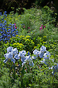 Iris 'Jane Phillips', Anchusa azurea 'Loddon Royalist', and Euphorbia, The Daily Telegraph Garden, gold medal winner at the Chelsea Flower Show, 2014. Designed by Paul Gazerwitz and Tommaso del Buono.