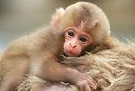 Snow Monkey Baby, Jigokudani, Nagano, Japan
