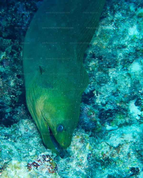 "This 4-foot giant moray was intensely curious and followed the photographer out of his crevice in the reef and for several yards before turning back.  ""The Garden"" dive site, Costa Maya, Mexico."