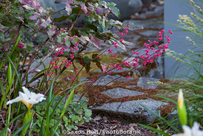 Heuchera hirsutissima, Idyllwild Rock Flower, or Shaggy-haired Alumroot flowering native perennial in California native plant garden; Katherine Greenberg