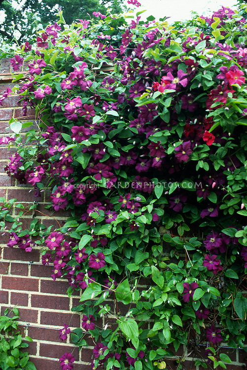 Clematis viticella 'Etoile Violette' climbing a brick wall