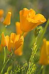 Mexican Gold Poppies, Eschscholtzia mexicana, near Lake Pleasant, Arizona
