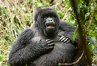 This female was… horny. She beat her chest repeatedly to attract the silverback's attention, but her ignored her. Eventually, another female came over and pleasured her.