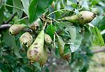 Foto: VidiPhoto<br /> <br /> DRUMPT – Fruittelers in de regio Tiel maken zaterdag de schade op na de orkaan en allesverwoestende hagelbui van vrijdagmiddag. Niet alleen zijn veel bomen beschadigd, maar zo'n 60 ha. aan hardfruit en 10 ha. aan kersen en aardbeien is volledig vernietigd. Bij de kersen was de oogst net begonnen. De Nederlandse Fruittelers Organisatie schat de schade in de Betuwe op enkele miljoenen euro's. Bij sommige telers is de complete oogst verwoest.Foto: Enorme schade aan het fruit bij Kees van Arkel in Drumpt.