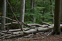 GERMANY, Ruegen, beech forest / DEUTSCHLAND, Mecklenburg-Vorpommern, intakter Wald, Laubwald mit Buchen im Nationalpark Jasmund, Totholz