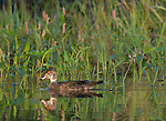 Wood duck - eclipse male
