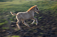 A foal romps in circles just for fun.  The Gila herd are of Spanish origin and came to North America with the Conquistadors in the 1600s.  They were rescued by Karen Sussman and the International Society for the Protection of Mustangs and Burros.Wild Horse Annie, Velma Johnston, was the first. Annie, along with Helen Reilly worked together for the passage of the 1971 Wild Horses and Burros Act to protect horses from slaughter and inhumane treatment.