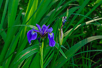Blue Flag Iris growing in the West Canada Lakes Wilderness Area in the Adirondack Mountains in New York State