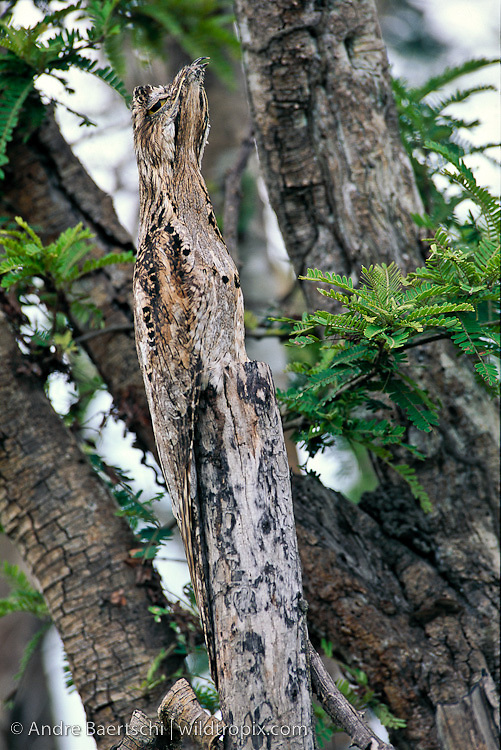 Common Potoo (Nyctibius griseus) perfectly camouflaged on a dead branch in savanna habitat, Llanos de Mojos, Beni, Bolivia.