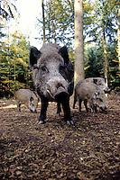 Wild zwijn (Sus scrofa)  met biggen