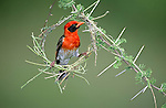 Male Red-headed Weaver (Anaplectes rubriceps) in early stages of constructing its nest. Tarangire National Park, Tanzania